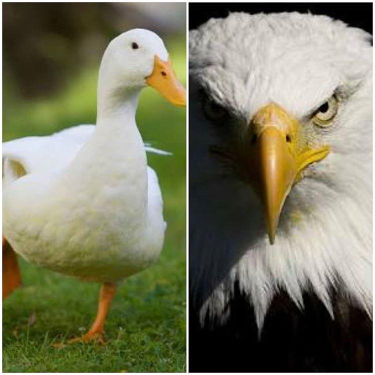 Pato ou Águia? Você decide!