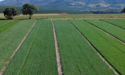 Minas avalia novas cultivares de trigo